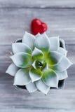 Agawa garnka lizaka kształta serce Fotografia Royalty Free