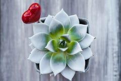 Agawa garnka lizaka kształta serce Zdjęcie Royalty Free
