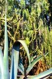 Agawa i kaktus Zdjęcia Royalty Free