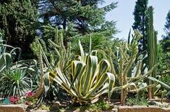 Agawa i kaktus w parku Obrazy Royalty Free