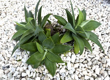 Agawa kaktus (attenuata) Zdjęcia Stock