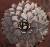 Agawa kaktus z unikalnym kształtem na czerwonym tle Obraz Stock