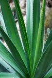 Agawa kaktusa zbliżenie Obrazy Royalty Free