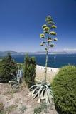 agawa kwiat Zdjęcia Royalty Free