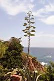 Agawa kwiat przy ogródem botanicznym Marimurtra, Blanes Obraz Stock