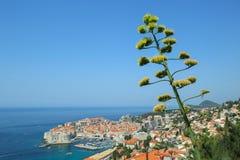 Agawa kwiatu badyl z widokiem Dubrovnik Obrazy Royalty Free