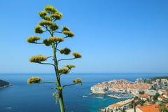 Agawa kwiatu badyl z widokiem Dubrovnik Fotografia Royalty Free