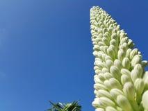 Agawa kwiatu pączek Obrazy Stock