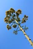 agawa kwiaty Zdjęcie Royalty Free