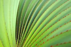 agawa liść Zdjęcie Stock