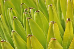 Agawa liści kształt Obrazy Royalty Free