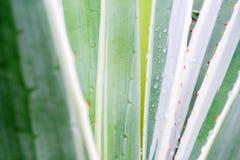 Agawa liścia wzoru tło Obraz Stock
