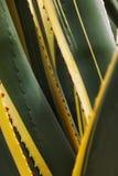 Agawa - sentry roślina - zakończenie up Zdjęcie Stock