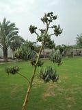 AGAWA SISALANA & x28; agawy rigida rozmaitość; SISALANA& x29; Obraz Stock