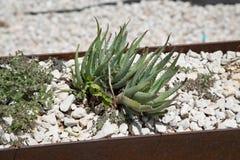 Agawa sukulent w plantatorze Zdjęcia Stock