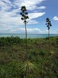 Agawa Vivipara Zasadza dorośnięcie w południe plaży, Miami obraz royalty free