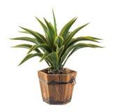 Agawa w drewnianym wiadrze - Sztuczna roślina Obraz Royalty Free
