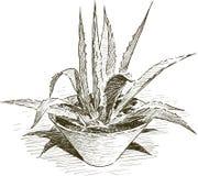 Agawa w flowerpot Zdjęcie Royalty Free