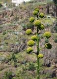 Agawa w kwiacie Obrazy Royalty Free