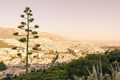 Agawa w kwiacie na wzgórzu nad Ateny, Grecja Zdjęcie Royalty Free