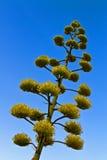 Agawa 'wiek roślina' kwitnie Obraz Stock