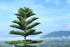Agawy americana drzewo Obraz Royalty Free