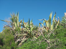 Agawy americana marginata Obraz Royalty Free