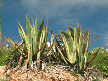 Agawy americana marginata Obrazy Royalty Free