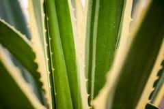 Agawy Americana marginata-aurea Obraz Royalty Free