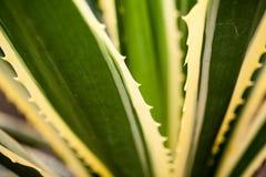 Agawy Americana marginata-aurea Zdjęcia Royalty Free