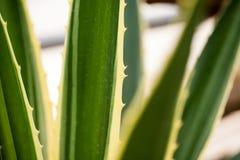Agawy Americana marginata-aurea Zdjęcie Stock
