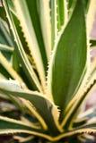 Agawy Americana marginata-aurea, roślina Obrazy Royalty Free