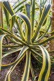 Agawy amerykańska kaktusowa roślina Obraz Royalty Free