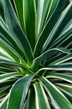 Agawy angustifolia Obrazy Royalty Free