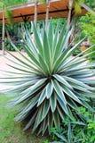 Agawy angustifolia Zdjęcia Royalty Free