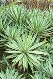 Agawy angustifolia Karaiby agawa Obraz Royalty Free