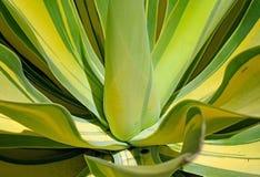 Agawy attenuata, agawa, ber agawa, drzewo agawa Obraz Royalty Free
