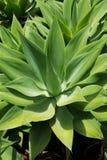 Agawy Attenuata kaktusowa roślina od wysp kanaryjska Obrazy Royalty Free