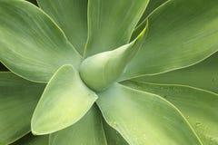 Agawy attenuata, lew bajka, swams szyja, ber Zielona roślina de zdjęcia royalty free