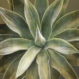 Agawy attenuata roślina, zbliżenie Obraz Royalty Free