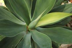 Agawy attenuata roślina w ogródzie Zdjęcie Royalty Free