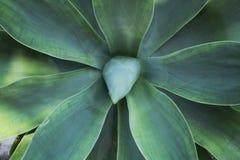 Agawy attenuata roślina w ogródzie Obraz Stock