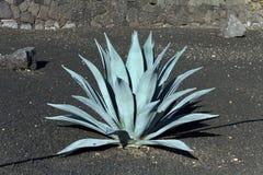 agawy czarny kaktusa ziemi zieleń Lanzarote Obraz Royalty Free