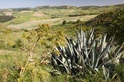 agawy desmetiana roślina Fotografia Royalty Free