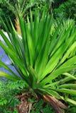 Agawy filifera Zdjęcie Royalty Free