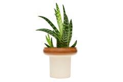 agawy flowerpot Zdjęcia Royalty Free