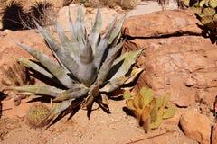 Agawy i Sabra kłującej bonkrety kaktus Obrazy Royalty Free