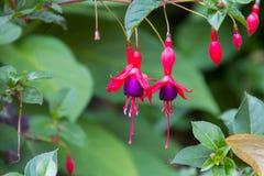 Agawy Japonia kwiat Obraz Stock