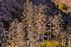 agawy kwitnienia wybrzeża greckich wysp skalisty brzeg Obrazy Stock