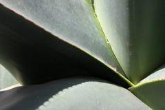 agawy Mexico roślina Zdjęcie Stock